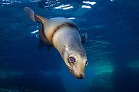 California sea lion, Zalophus californianus, entangled with fishing line or net, La Paz, Baja California Sur, Mexico, Gulf of California, Sea of Cortez, East Pacific Ocean