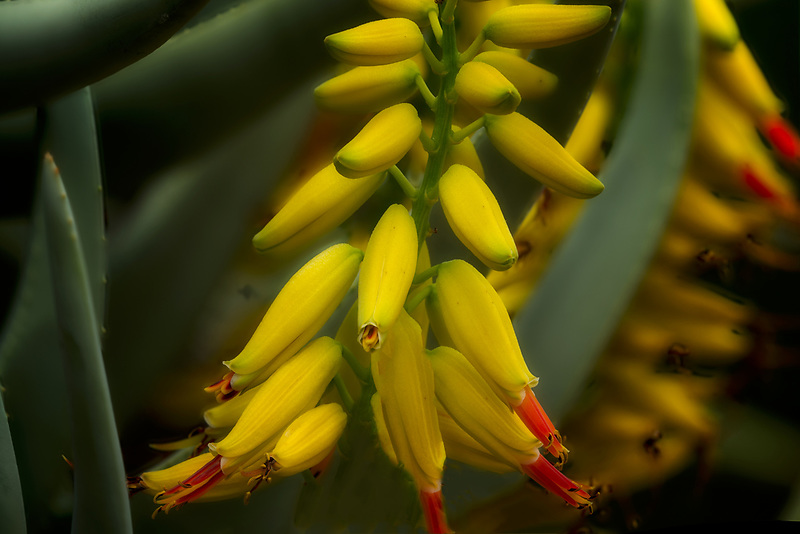 Close up of Aloe dichotoma flowers. Moorten Botanical Garden. Palm Springs, California