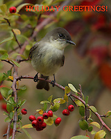 Eastern Phoebe flycatcher in a festive holiday setting.