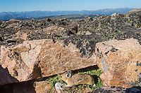 American pika (Ochotona princeps) bringing in a mouthful of plant material to one of its haypiles where it is collecting food for winter use.  Beartooth Mountains, Wyoming/Montana.  Summer.  This photo was taken in alpine setting at around 11,000 feet (3350 meters) elevation.  Looking southwest towards Absaroka Mountains in Northern Wyoming.
