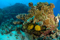 pair of golden butterflyfish, Chaetodon semilarvatus, fish, reef, head coral, red sea, off coast of Safaga, Egypt