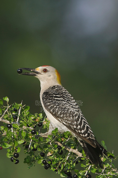 Golden-fronted Woodpecker, Melanerpes aurifrons, male eating saffron plum (Sideroxylon celastrinum) berries , Willacy County, Rio Grande Valley, Texas, USA