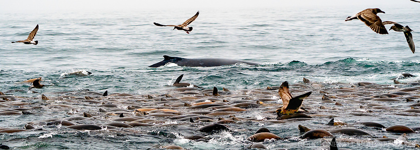 To spot where a humpback whale will surface, look for other marine life - these sea lions were a dead giveaway...