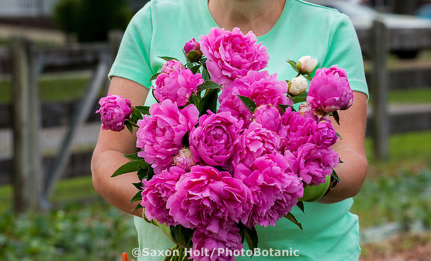 flower farmer Lisa Ziegler havesting peonies at Gardeners Workshop