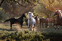 """They call him Phantom, and his haunting appeal may have saved his life. For roughly 15 years the white stallion roamed with his band near Dayton, Nevada, running across highways and into local neighborhoods, then disappearing for weeks. <br /> <br /> Some folks were spellbound. Others were simply annoyed. Twice the Nevada Department of Agriculture tried to relocate Phantom and his band to open rangeland ten miles away, but each time the horses were back within a few months. When officials finally hauled Phantom to a holding facility in Reno, area residents raised $4,000 to move him and one of his mares to California's Wild Horse Sanctuary.<br /> <br /> Phantom has a fan club.  Dianne Nelson has saved mustangs on a ranch in northern California.  """"It was in 1978 that the Wild Horse Sanctuary founders rounded up almost 300 wild horses for the Forest Service in Modoc County, California. Of those 300, 80 were found to be un-adoptable and were scheduled to be destroyed at a government holding facility near Tule Lake, California. <br /> <br /> The Sanctuary is located near Shingletown, California on 5,000 acres of lush lava rock-strewn mountain meadow and forest land. Black Butte is to the west and towering Mt. Lassen is to the east. <br /> Their goals:<br /> Increase public awareness of the genetic, biological, and social value of America's wild horses through pack trips on the sanctuary, publications, mass media, and public outreach programs.<br /> Continue to develop a working, replicable model for the proper and responsible management of wild horses in their natural habitat.<br /> Demonstrate that wild horses can co-exist on the open range in ecological balance with many diverse species of wildlife, including black bear, bobcat, mountain lion, wild turkeys, badger, and gray fox.<br /> Collaborate with research projects in order to document the intricate and unique social structure, biology, reversible fertility control, and native intelligence of the wild horse."""