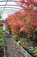 View of Acers in the Polytunnel