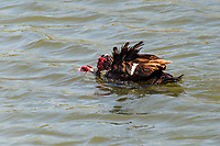 Two Muscovy Ducks apparently engaged in mating behaviour at a neighborhood park.