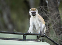 Black-faced Vervet Monkey, Chlorocebus pygerythrus, atop a safari vehicle in Tarangire National Park, Tanzania