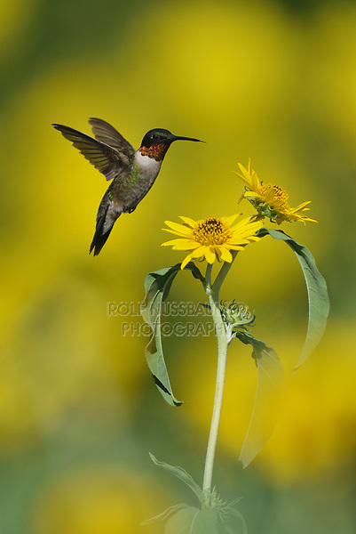 Ruby-throated Hummingbird (Archilochus colubris), male feeding on Maximilians Sunflower (Helianthus maximilianii), Hill Country, Central Texas, USA