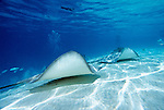 Moorea, French Polynesia; Tahitian Stingray (Himantura fai), swimming along the sandy bottom at Sting Ray City, Moorea, found in Indo-Pacific region, from India to Thailand and the Society Islands of French Polynesia , Copyright © Matthew Meier, matthewmeierphoto.com All Rights Reserved