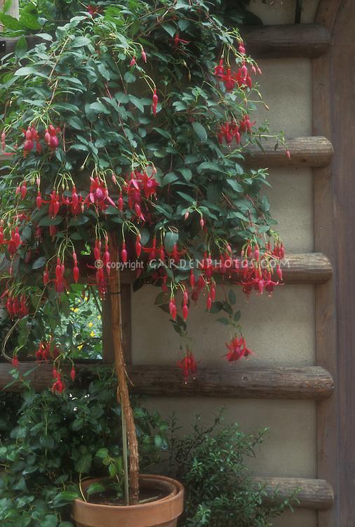 Blooming fuchsia shrub as standard form in terracotta pot