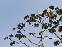 American white ibises perch on a tall tree in Corcovado.