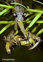 1M15-005x  Praying Mantis adult consuming insect prey - Tenodera aridifolia sinenesis  © Dwight Kuhn