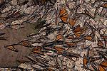Monarch Butterflies over-wintering at El Rosario Monarch Butterfly Sanctuary in Michoacan, Mexico.