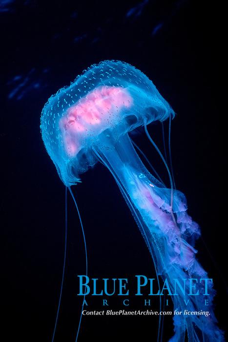 mauve stinger, Pelagia noctiluca, a bioluminescent jellyfish, open ocean, Guadalupe Island, Mexico, Pacific Ocean