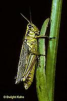 OR03-027z  Grasshopper -  redlegged grasshopper - Melanoplus spp.