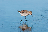 Western Sandpiper (Calidris mauri).  Breeding plumage, spring migration.  Pacific Northwest ocean beach.  April.
