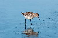 Western Sandpiper (Calidris mauri).  Breeding plumage, spring migration.  Pacific Northwest ocean beach.  April.