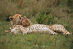 A cheetah lays in the grass and grooms her cub on the Serengeti in Tanzania