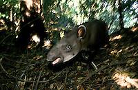 Anta (Tapirus terrestris) na mata.<br /> Amazonas - Brasil<br /> ©Foto: Marcello Lourenço/