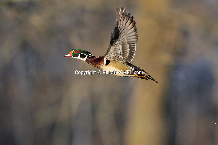 00360-102.15 Wood Duck drake in flight with trees in background.   Hunt, action, fly, wetlands.