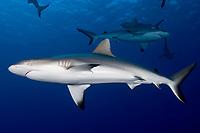 Gray Reef Shark, Carcharhinus amblyrhynchos, Yap, Micronesia.