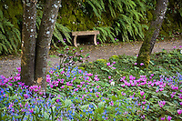 Pink flower cyclamen hederifolium and blue Omphalodes cappadocica in Filoli Woodland Garden along path with bench