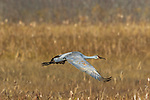 Sandhill crane flying over Crex Meadows Wildlife Area.