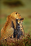 A sweet moment between two leopards, Kenya.