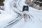 Adult Coyote (Canis latrans) running along the road in the Lamar Valley. Yellowstone National Park, Wyoming, USA.