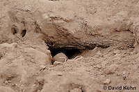 0215-08vv  Meerkat burrow, Suricata suricatta © David Kuhn/Dwight Kuhn Photography