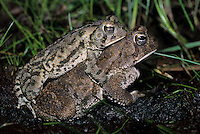 Fowler's Toads, mating, Lake Oswego, Pine Barrens, New Jersey