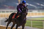 MEYDAN,DUBAI-MARCH 25: Neo Black Dia,trained by Yuichi Shikato,exercises in preparation for the Dubai Gold Cup at Meydan Racecourse on March 25,2016 in Meydan,Dubai (Photo by Kaz Ishida)