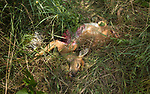 Wisconsin white-tailed fawn killed by a predator.