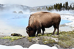 Female American bison (Bison bison) grazing near thermal pool / hot spring. Biscuit Geyser Basin, Yellowstone National Park, Wyoming, USA.