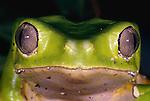 Giant leaf frog, South America