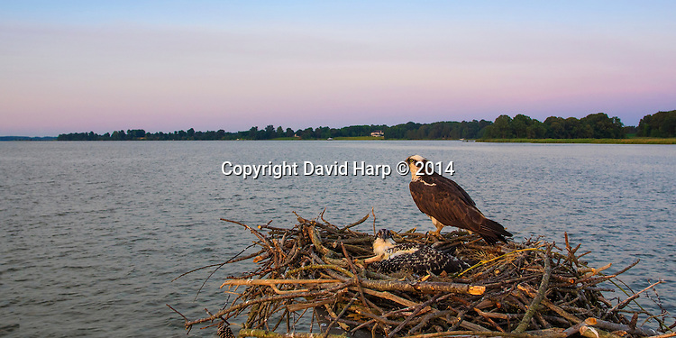 An adult osprey and it's sole surviving chick have an expansive view of the river from their nest atop an old duckblind.