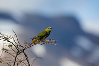 Austral Parakeet roosting near Perito Moreno Glacier