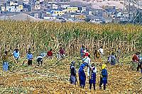 Colheita de cana de açúcar, vale do Rio Nilo. Luxor. Egito. 1996. Foto de Luciana Whitaker.