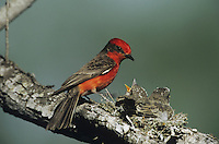 Vermillion Flycatcher (Pyrocephalus rubinus), male with young at nest, Starr County, Rio Grande Valley, Texas, USA