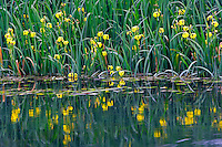 Iris on pond at Bonneville fish hatchery, Oregon