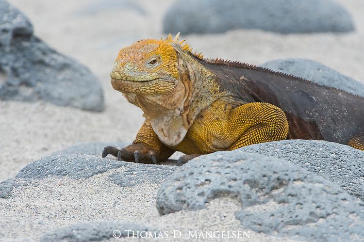 Portrait of a land iguana on a beach in the Galapagos Islands, Ecuador.