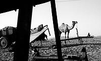 11.2008  Pushkar (Rajasthan)<br /> <br /> Camel camp during the annual fair.<br /> <br /> Camp de chameaux durant la foire annuelle.