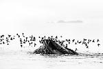 Whale and fog, Stephens Passage, Southeast Alaska, USA