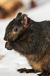 Eastern gray squirrel - dark color morph