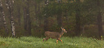 White-tailed doe in the early morning fog