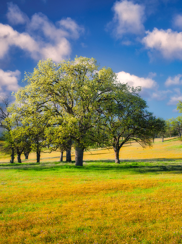 Meadow of Yellow wildflowers oak trees and clouds. Bear Valley. Colusa County, California