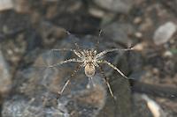 Wolfspinne, Wolfsspinne, läuft auf der Wasseroberfläche, Pardosa spec., Wolf spider, Wolfspinnen, Wolfsspinnen, Lycosidae, wolf spiders, ground spiders