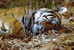 Female Bengal Tiger (Panthera tigris tigris) sleeping in bamboo thicket. Bandhavgarh NP, Madhya Pradesh, India.