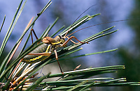 Steppen-Sattelschrecke, Männchen, Steppensattelschrecke, Ephippiger ephippiger, Ephippigera ephippiger, Ephippigera vitium, European bushcricket, Long horned grasshopper, male, Tettigoniidae